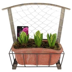 hyacinthus decoree