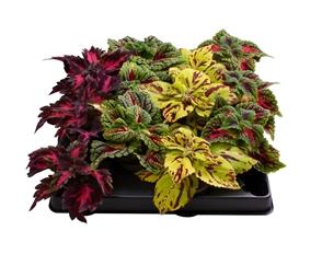 plantes du Danemark