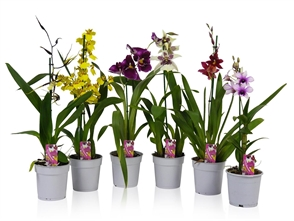 Orchidees varies