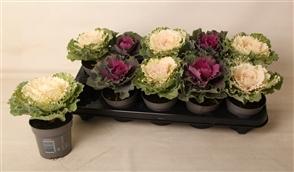 Brassica