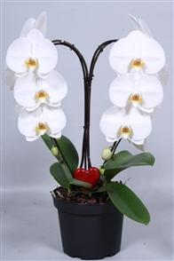 orchidées valorisées