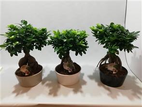 bonsaï ginseng lucky bambou